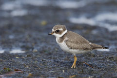 Ringed plover, Charadrius hiaticula Royalty Free Stock Photography