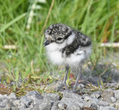 Ringed Plover chick Stock Photography