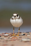 Ringed Plover Royalty Free Stock Photos