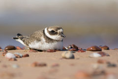 Ringed Plover lying Royalty Free Stock Photo