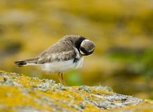 Ringed Plover Preening. It's self on rocks stock photos