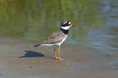 Ringed Plover standing on sandy shore Stock Image