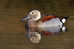 Ringed or ring necked teal, Callonetta leucophrys Royalty Free Stock Images