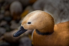 Ringed Ruddy Shellduck Royalty Free Stock Photos