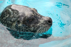Ringed seal stock photography