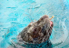 Ringed seal Royalty Free Stock Photography
