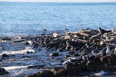Ringed seal rookery on rocky reef by Kamchatka Peninsula. The ringed seal Pusa hispida or Phoca hispida, also known as the jar seal and as netsik or nattiq by stock photography