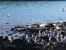 Ringed seal rookery on rocky reef by Kamchatka Peninsula. The ringed seal Pusa hispida or Phoca hispida, also known as the jar seal and as netsik or nattiq by stock photos