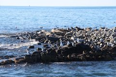 Ringed seal rookery on rocky reef by Kamchatka Peninsula. The ringed seal Pusa hispida or Phoca hispida, also known as the jar seal and as netsik or nattiq by royalty free stock images