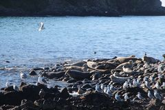 Ringed seal rookery on rocky reef by Kamchatka Peninsula. The ringed seal Pusa hispida or Phoca hispida, also known as the jar seal and as netsik or nattiq by stock image