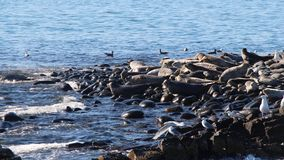Ringed seal rookery on rocky reef by Kamchatka Peninsula. The ringed seal Pusa hispida or Phoca hispida, also known as the jar seal and as netsik or nattiq by stock photo