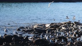 Ringed seal rookery on rocky reef by Kamchatka Peninsula. stock photo