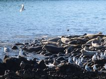 Ringed seal rookery on rocky reef by Kamchatka Peninsula. The ringed seal Pusa hispida or Phoca hispida, also known as the jar seal and as netsik or nattiq by royalty free stock photos