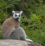 Ringed-tailed Lemur. The Ringed-tailed Lemur is endangered due to human destruction of it's natural habitat, the rainforest Stock Photo