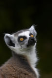 Ringed-tailed Lemur. The Ringed-tailed Lemur is endangered due to human destruction of it's natural habitat, the rainforest Stock Photography