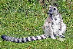 Ringed-Tailed Lemur-Jersey Zoo-Channel Islands Stock Photos