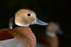 Ringed Teal Royalty Free Stock Photos