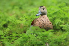Ringed teal Royalty Free Stock Image