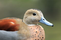 Ringed teal Stock Image
