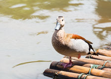Ringed Teal Stock Photography