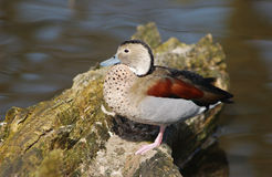 Free Ringed Teal Royalty Free Stock Photography - 634727