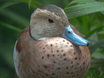 Ringed Teal Royalty Free Stock Images