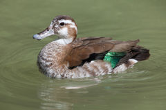 Ringed Teal Callonetta Leucophrys. Stock Photography