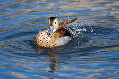 Ringed Teal Callonetta leucophrys Royalty Free Stock Photography