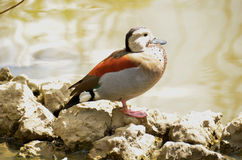 Ringed Teal (Callonetta leucophrys) Royalty Free Stock Images