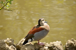 Ringed Teal (Callonetta leucophrys) Royalty Free Stock Photo
