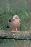 Ringed teal, Callonetta leucophrys. Single bird by water Royalty Free Stock Photos