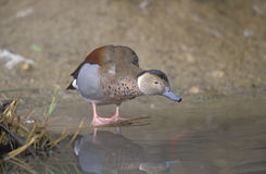 Ringed teal, Callonetta leucophrys. Single bird by water Royalty Free Stock Photo