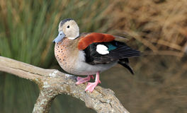 Ringed Teal  Royalty Free Stock Photography