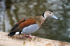 Ringed Teal, Callonetta Leucophrys Swimming In Water In Its Habitat Royalty Free Stock Images