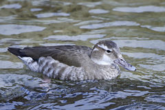 Ringed teal Callonetta leucophrys Royalty Free Stock Images