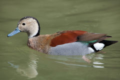 Ringed teal Callonetta leucophrys. Royalty Free Stock Images