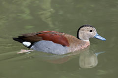Ringed teal Callonetta leucophrys. Royalty Free Stock Photo