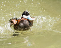 Ringed Teal Duck Royalty Free Stock Image