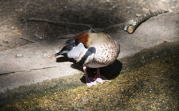 Ringed Teal Duck & x28;Callonetta Leucophrys& x29; Stock Photo