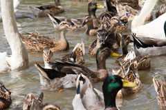 Ringed Teal Duck Stock Photos