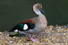 Ringed  Teal Duck Royalty Free Stock Photo