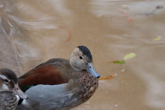 A Ringed Teal duck sitting on the bank. Royalty Free Stock Photo