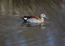 Ringed Teal Duck Royalty Free Stock Photos