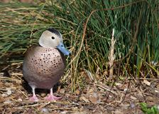 Ringed Teal Duck Royalty Free Stock Images