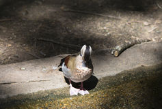 Ringed Teal Duck & x28;Callonetta Leucophrys& x29; Royalty Free Stock Image