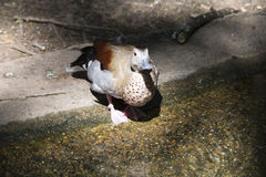 Ringed Teal Duck & x28;Callonetta Leucophrys& x29; Stock Image