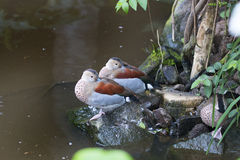 Ringed teal, ducks Stock Images