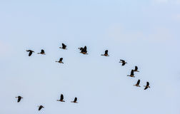 Ringed teal flying Stock Image