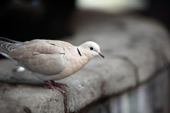 Ringed Turtle Dove. Closeup of a Ringed Turtle Dove perching on a rock wall and against a blurred background Stock Photography