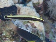 Ringed wrasse för korallfisk Royaltyfria Foton